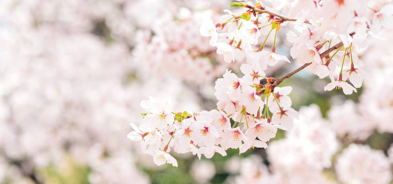 Cherry-blossom trading strategy